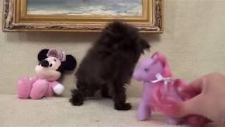 Черный персидский котенок на продажу Black Persian kitten for sale