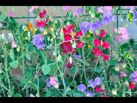 Sweet pea: It is a native of Sicily in Italy.