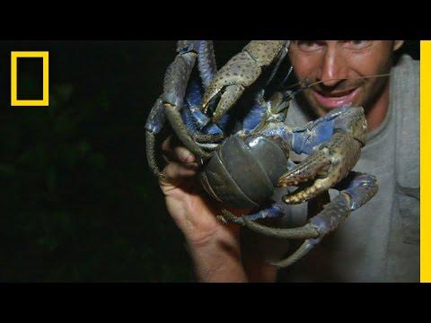 Luring in the Coconut Crab   Primal Survivor