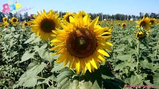 Детям о природе: подсолнух(Вашим малышам наверняка интересно будет узнать о таком красивом и полезном цветке, как подсолнух! Расскажи..., 2015-09-15T04:19:26.000Z)