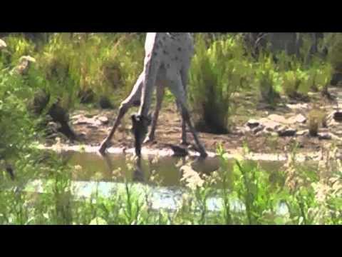 Leucistic Giraffe KNP.flv