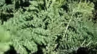 tanacetum-vulgaris_TANAISIE_ethnoplants