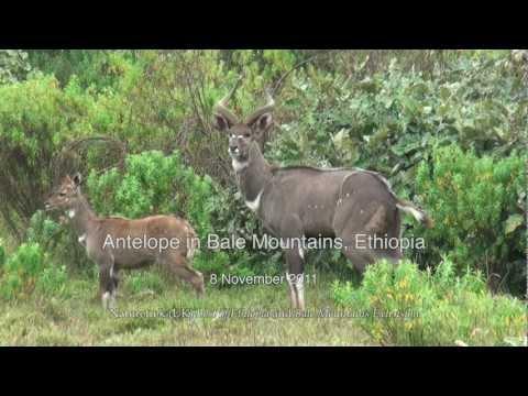 Mountain Nyala and other Antelope, Bale Mountains, Ethiopia