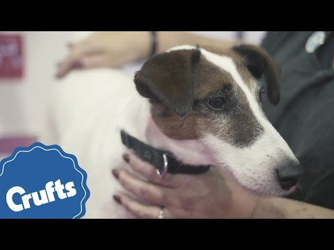 Smooth Fox Terrier | Crufts Breed Information
