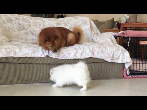 American Eskimo puppy challenged an older Finnish Spitz (3)