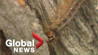 Caterpillar infestation causing concern