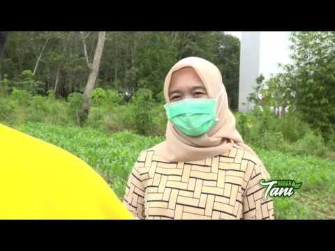 BPP Muara Uya Tentang Potensi Ternak & Asuransi Usaha Tani Sapi