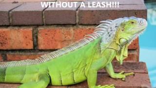 Iguana training