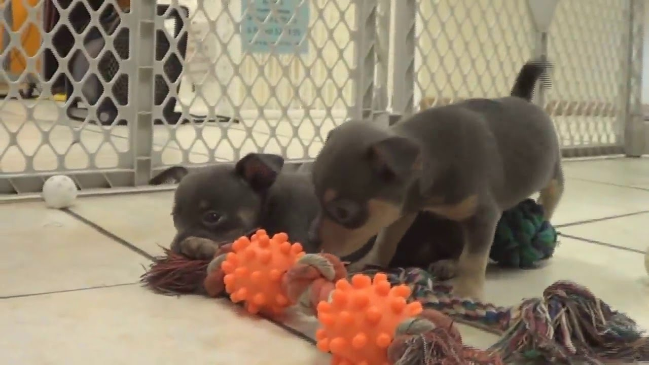 Chihuahua, Puppies, Dogs, For Sale, In Birmingham, Alabama ...