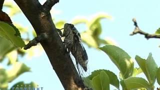 Как стрекочет цикада / Song of Cicada
