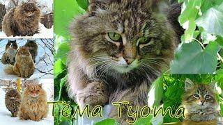 Тёма Tyoma , Siberian Farm cats, Зима и лето , Сибирские Деревенские кошки