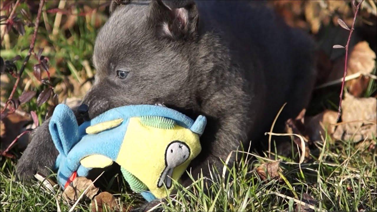 how to stop kelpie puppies biting