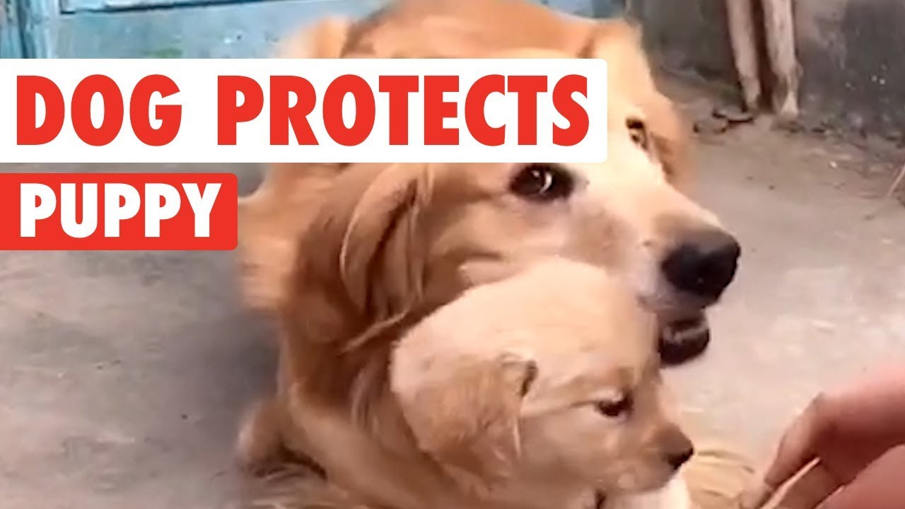 Golden Retriever Dad Protects His Puppy Youtube