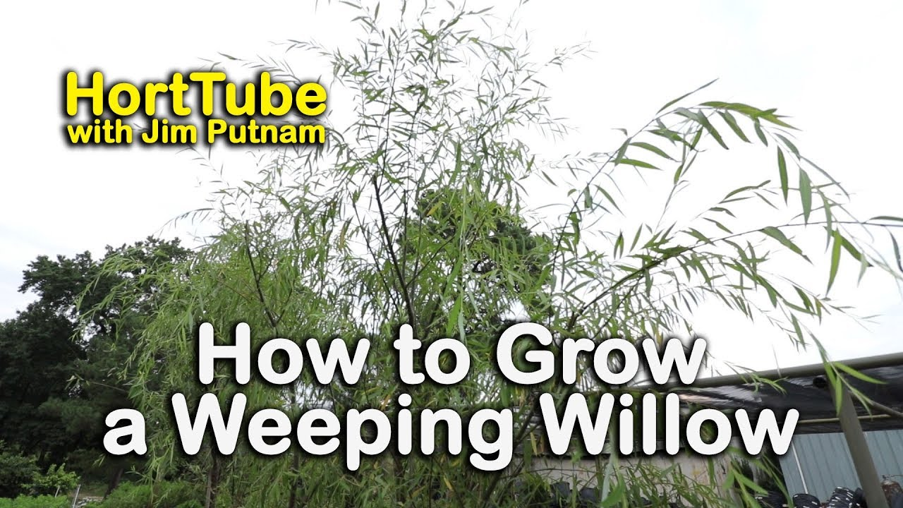 How To Grow A Weeping Willow Salix Babylonica Fast Growing