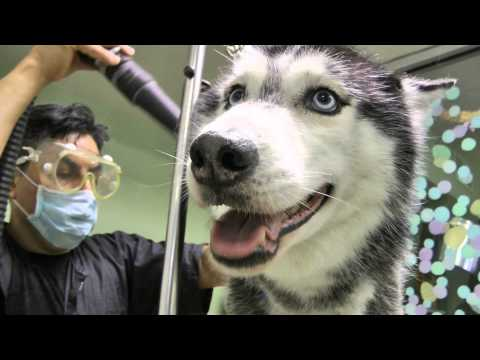 Mishka the Talking Husky's Spa Day!