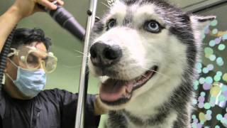 Mishka the Talking Husky Kisses Baby! - Cutest Mishka Video Ever