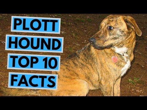 Plott Hound - TOP 10 Interesting Facts