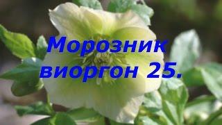 Морозник  Виоргон 25  Т  Севостьянова, врач терапевт высшей категории