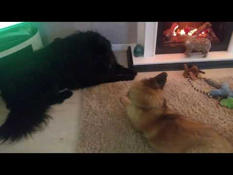 7 Year Old Tibetan Mastiff Meets Leonberger Puppy