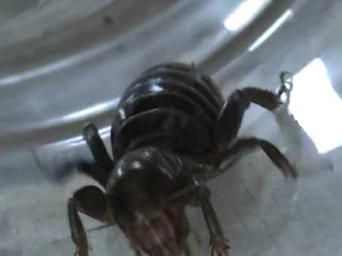 Las araas ms peligrosas CARA DE NIO ver video antes de