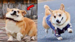Funny and Cute corgi puppies videos compilation 2021❤ Cutest corgis Ever!