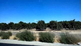 США Калифорния. Огромные плантации фруктовых деревьев.