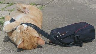 パパのカバン確保!うちを置いて行くなんて許さにゃい!と、お出かけの邪魔をする猫