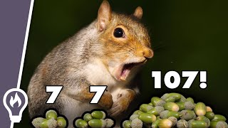 How Oak Trees Maniṗulate Squirrels To Abandon Their Acorns