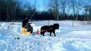 Miniature horse pulling a sleigh