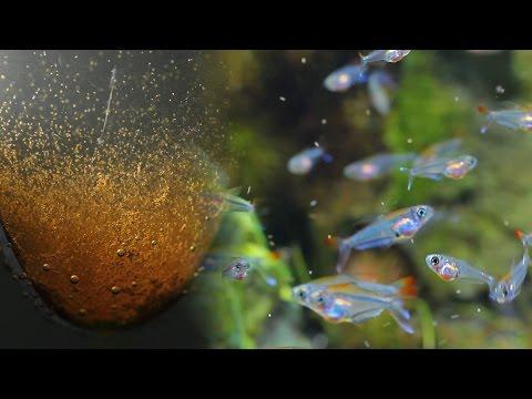#26.極美カラシン熱帯魚の飼育記録 ブラインシュリンプの簡単な沸かし方 Brine shrimp is