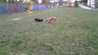 Patterdale Terrier Vs. Staffordshire Bull Terrier