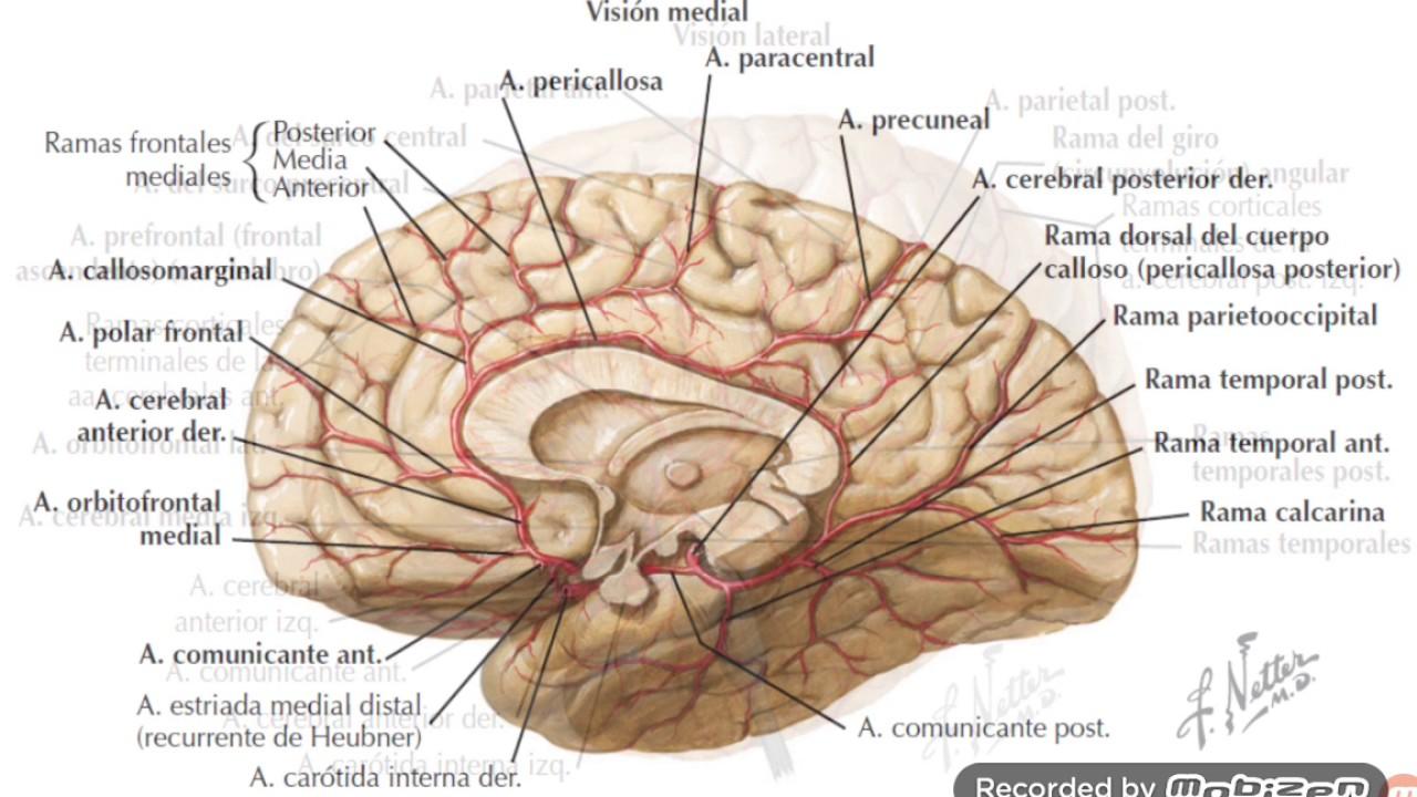 Contemporáneo Anatomía Cerebro Anterior Basal Ilustración - Anatomía ...