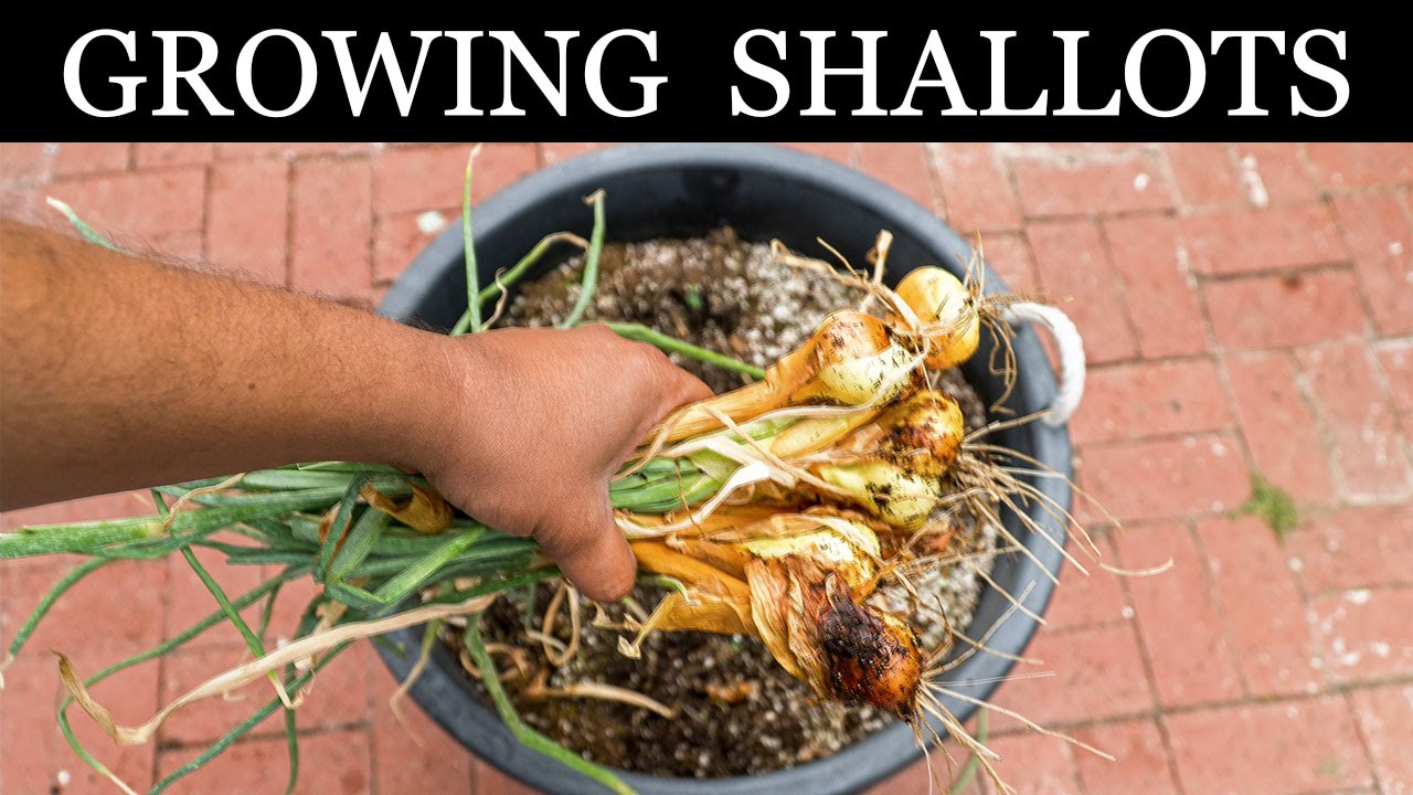 how to grow shallots indoors