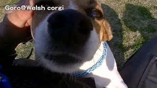 Jack Russell Terrier & Shiba / ジャックラッセルアリア & 柴犬 20140328 Goro@welsh Corgi コーギー