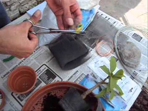 C mo hacer un bonsai parte 1 muy f cil youtube for Como cultivar bonsais