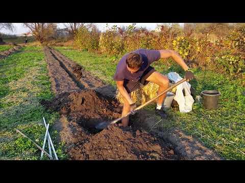 Как посадить саженцы фундука Трапезунд за 8 минут. Биоземледелие. Важно! яма отстаивается 1-3 месяца