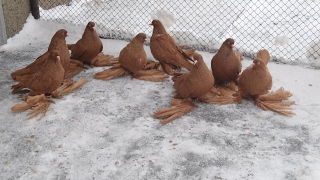 Tauben / Pigeon / Северокавказские бойные голуби (Сергей Макеев , Караганда, Казахстан )