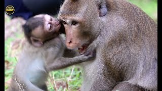 Strong baby fight big monkey Angkor daily 1436