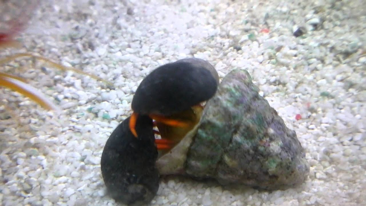 255. Hermit crabs eating turbo snail - YouTube