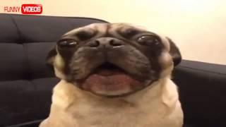 Funny Pug Videos