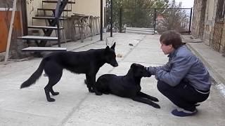 Smart black German Shepherds. ЧЕРНЫЕ НЕМЕЦКИЕ овчарки. Одесса.