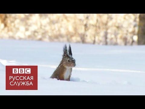 Белка ныряет под снег