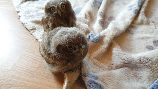 Little owls are living dust balls