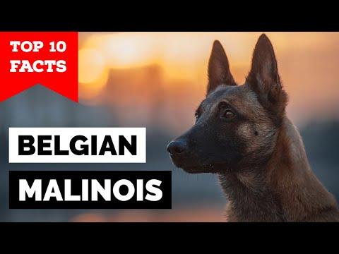 Belgian Malinois - Top 10 Facts