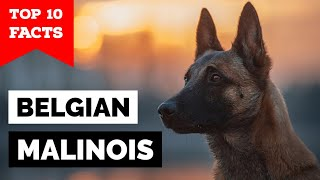 Belgian Malinois  Top 10 Facts