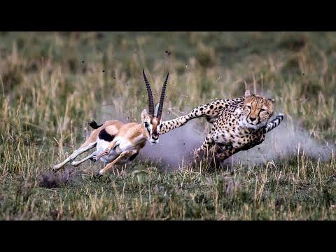Самое быстрое сухопутное животное в мире - ГЕПАРД В ДЕЛЕ! Бегун, спринтер и самонаводящаяся ракета!