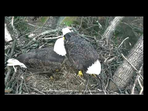 DC Eagle Cam 1-29-17 (3:30 p.m.): Mr. President & The First Lady Share a Fish Snack