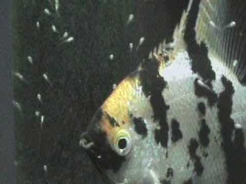 Baby angelfish just after hatching youtube for Fish eggs hatching