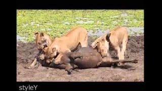 ライオンの捕食場面です。 肉食動物は獲物の下腹部(内臓系)など食べやす...
