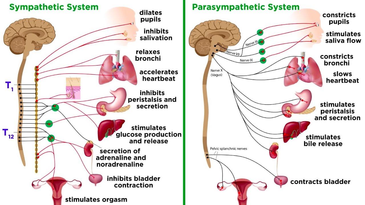 The Autonomic Nervous System: Sympathetic and Parasympathetic Divisions - YouTube